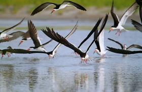 【田螺摄影】海鸟玩水剪嘴鸥最漂亮