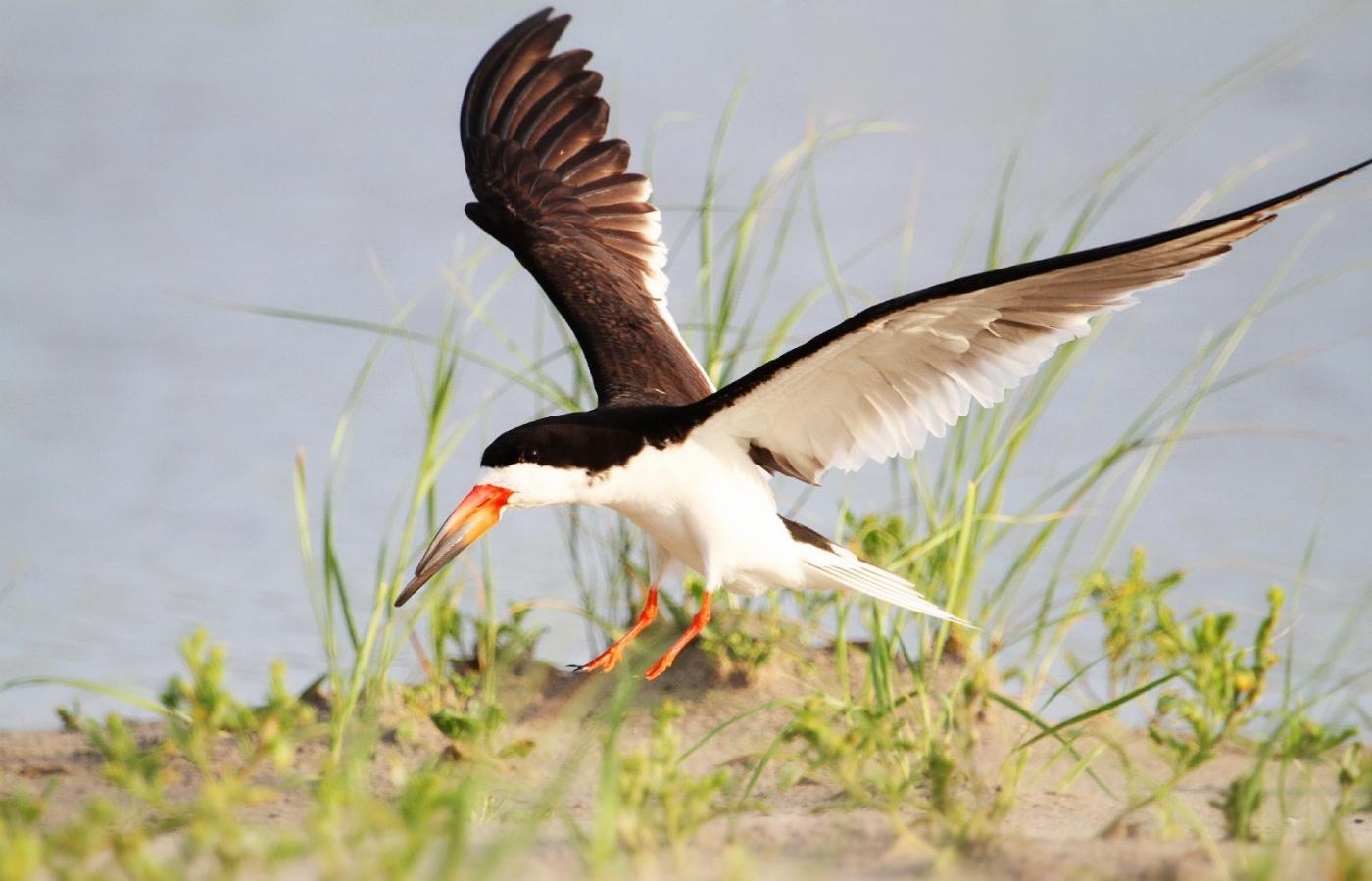 【田螺摄影】海鸟玩水剪嘴鸥最漂亮_图1-4