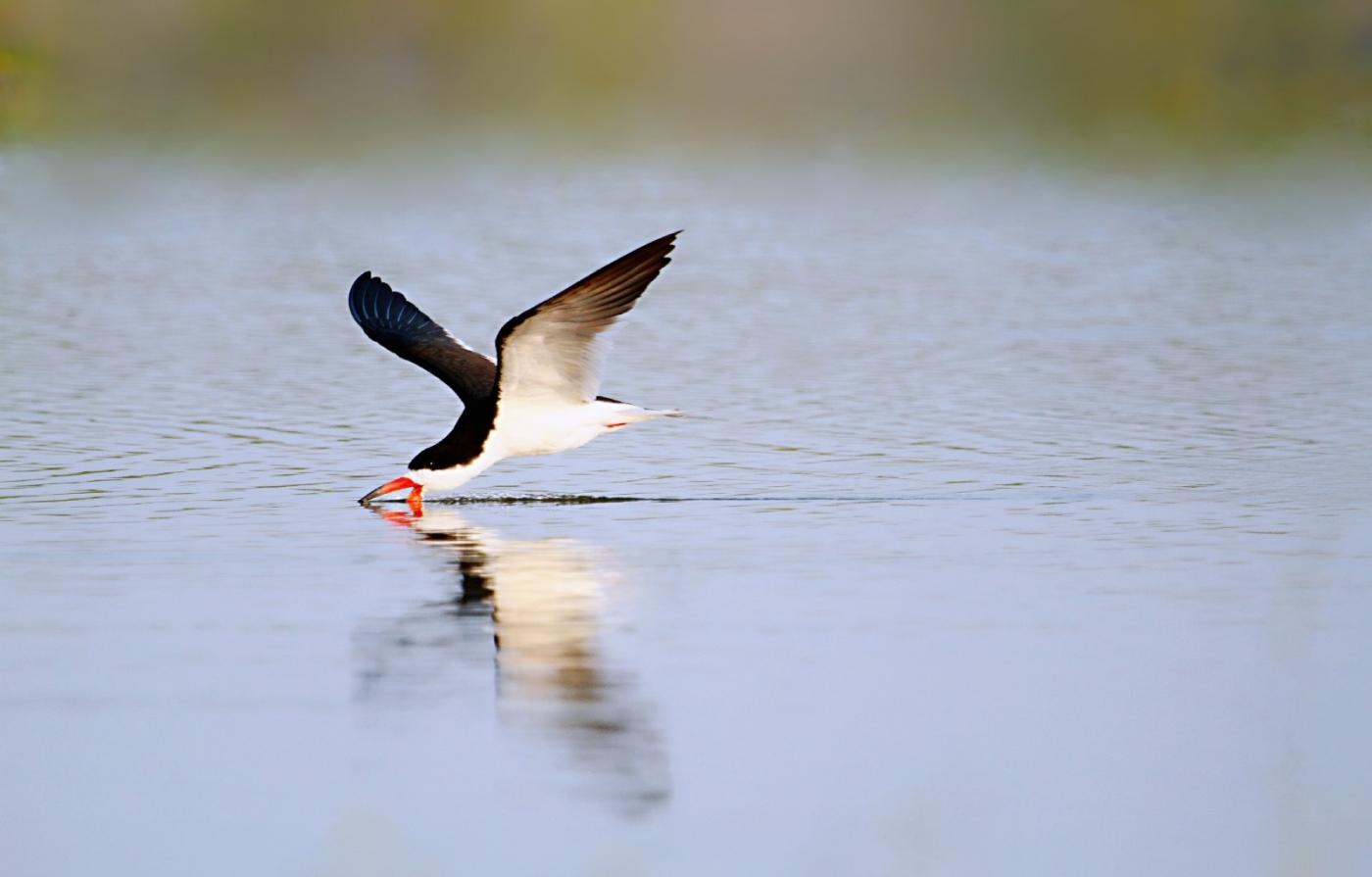 【田螺摄影】海鸟玩水剪嘴鸥最漂亮_图1-12