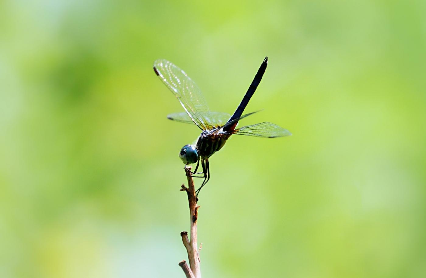 【田螺摄影】院子里的蜻蜓_图1-1