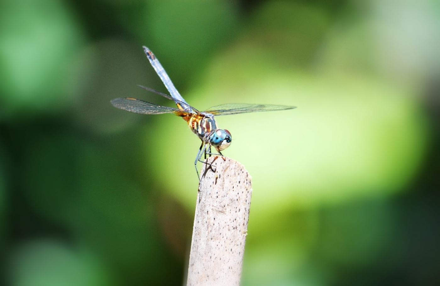 【田螺摄影】院子里的蜻蜓_图1-4