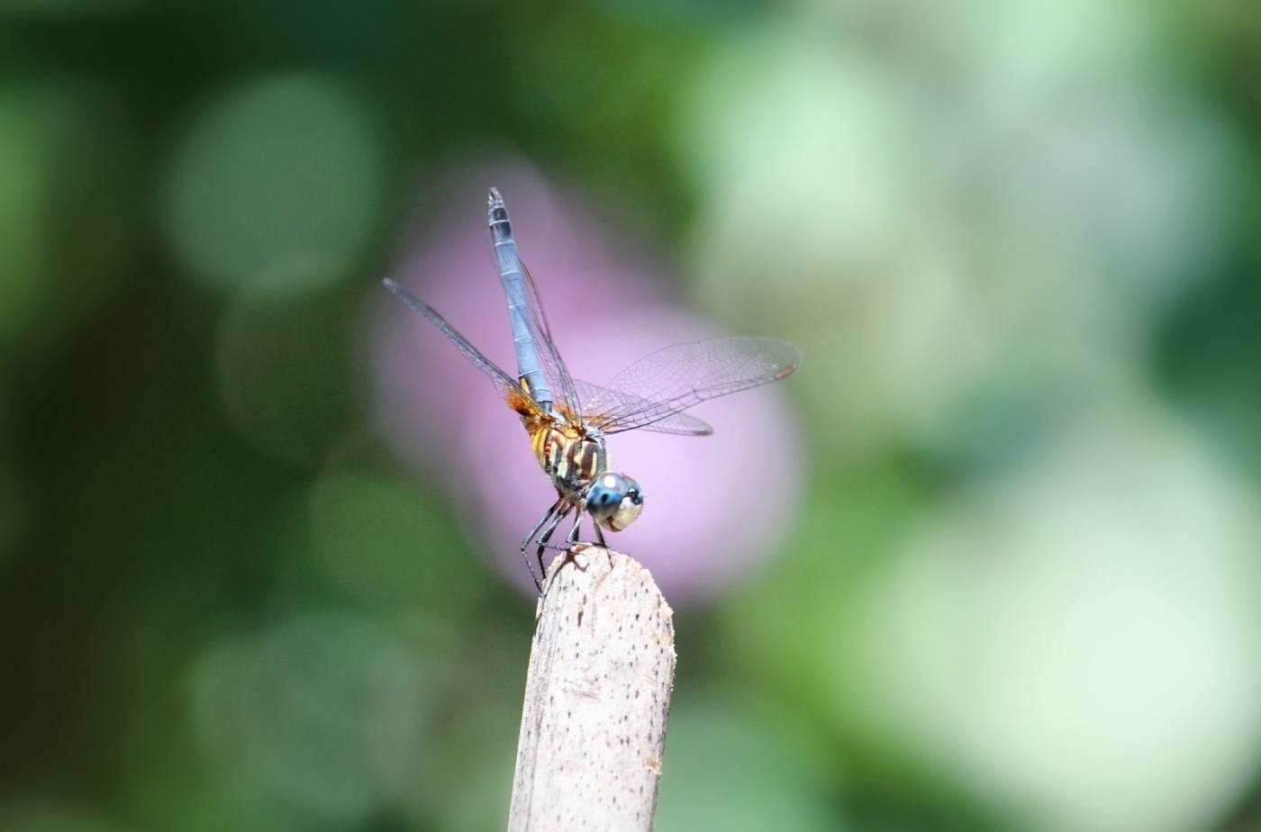 【田螺摄影】院子里的蜻蜓_图1-5