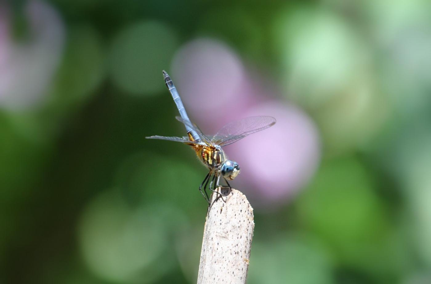 【田螺摄影】院子里的蜻蜓_图1-6