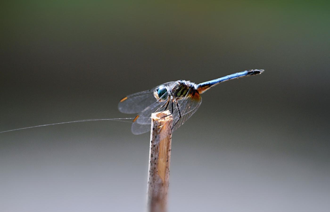 【田螺摄影】院子里的蜻蜓_图1-8