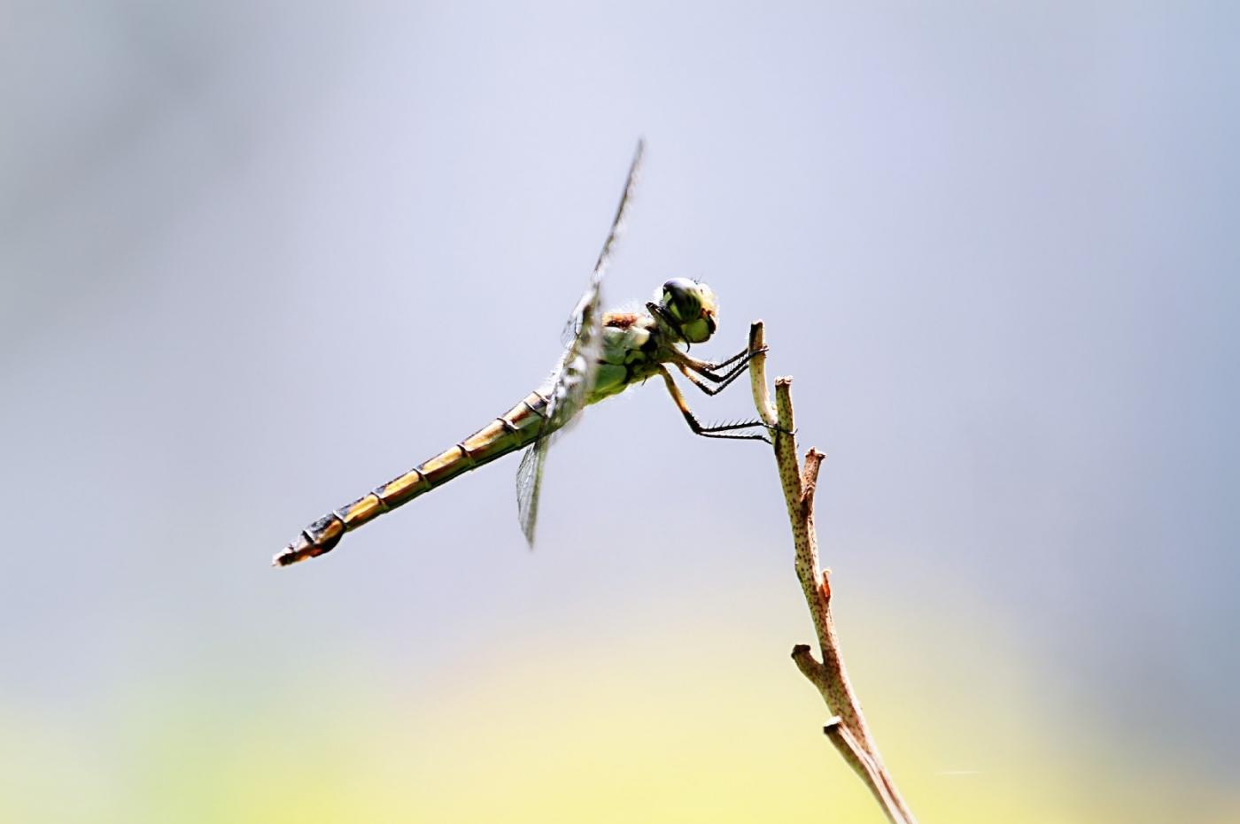 【田螺摄影】院子里的蜻蜓_图1-7
