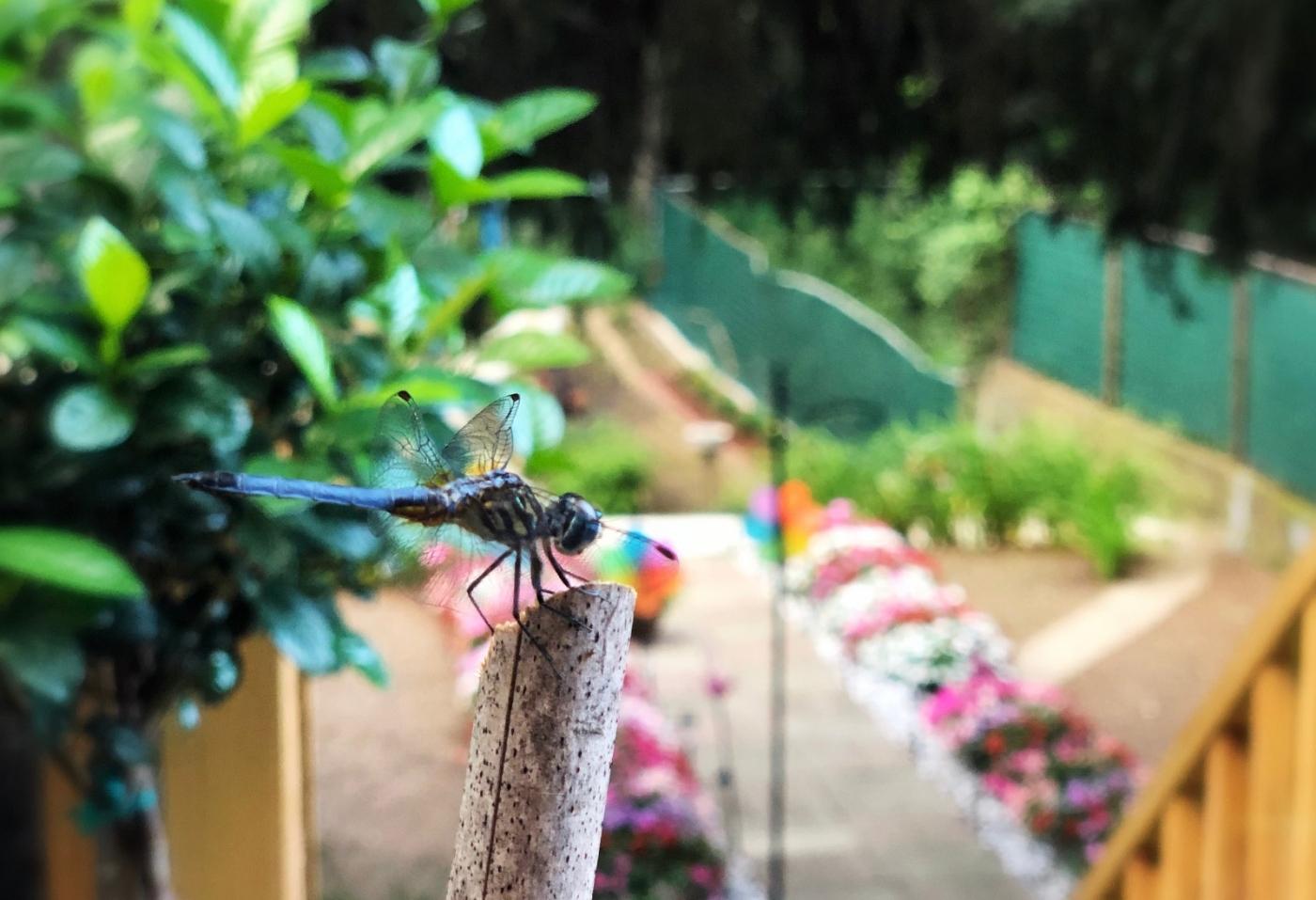【田螺摄影】院子里的蜻蜓_图1-10