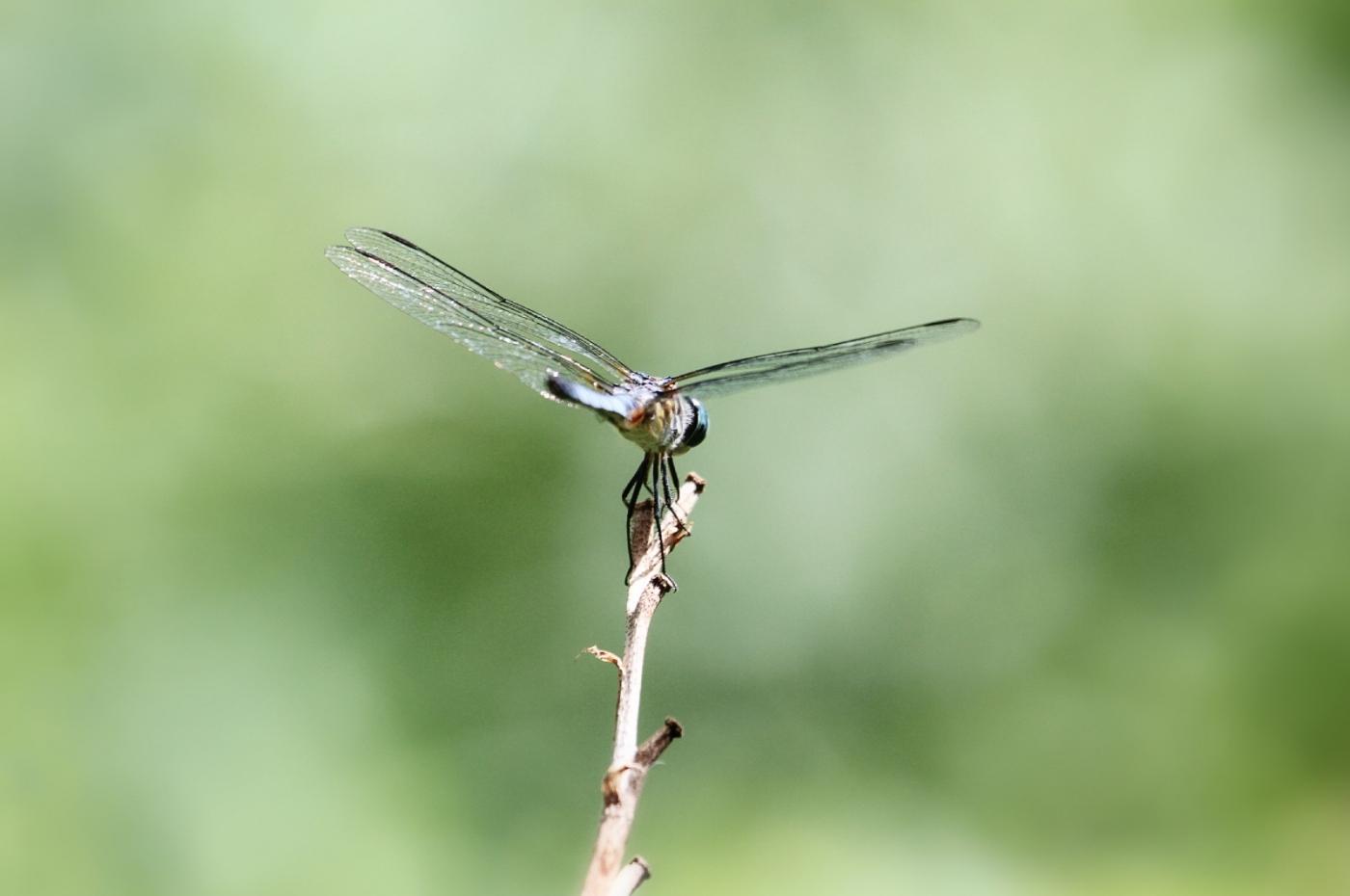 【田螺摄影】院子里的蜻蜓_图1-9