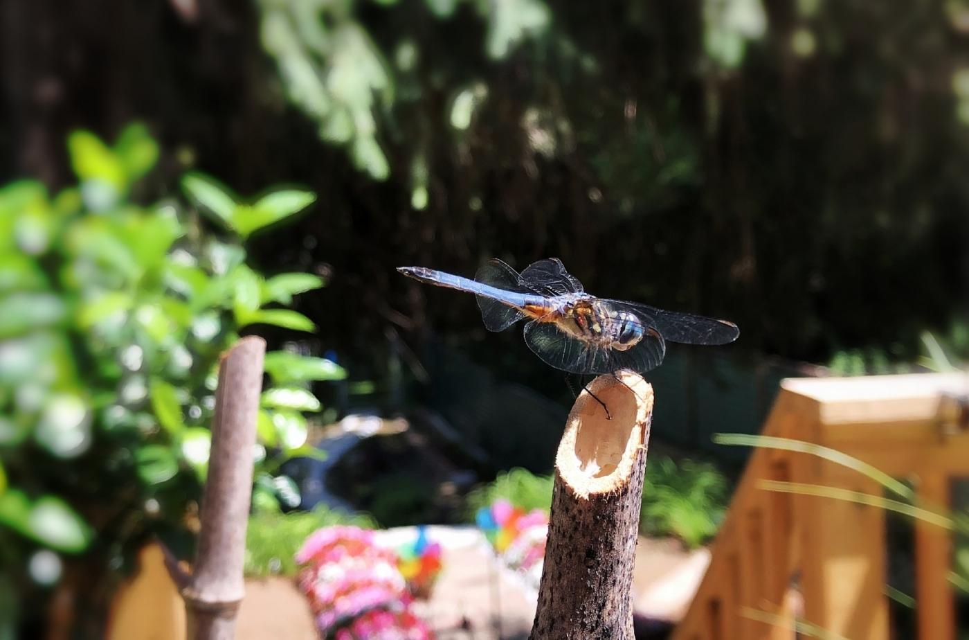 【田螺摄影】院子里的蜻蜓_图1-11