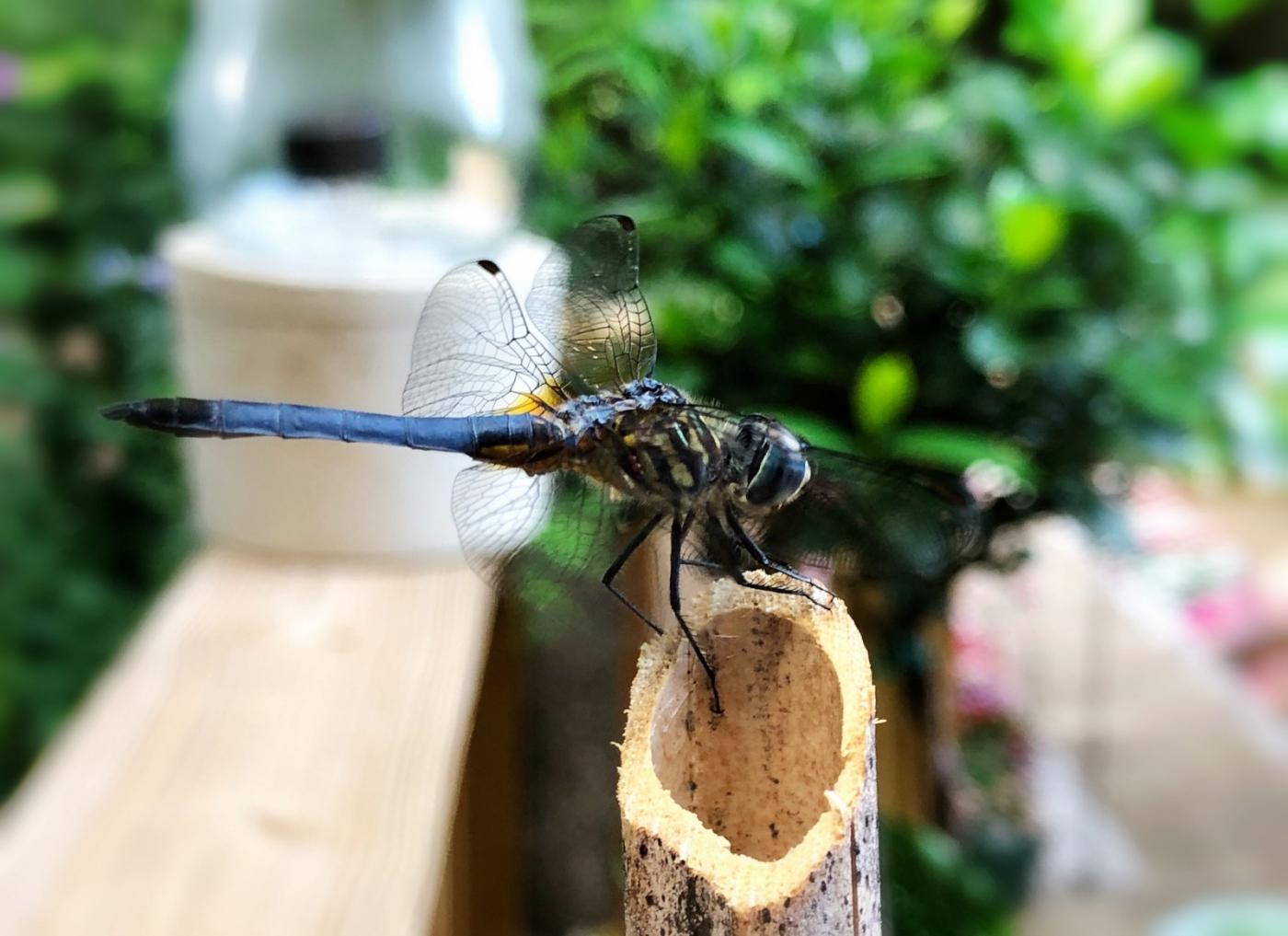 【田螺摄影】院子里的蜻蜓_图1-12
