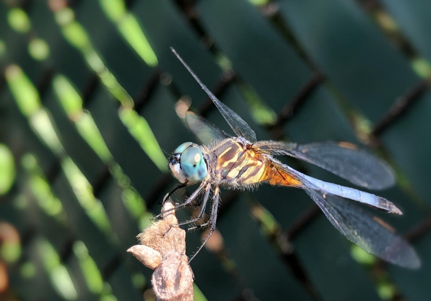 【田螺摄影】院子里的蜻蜓_图1-14