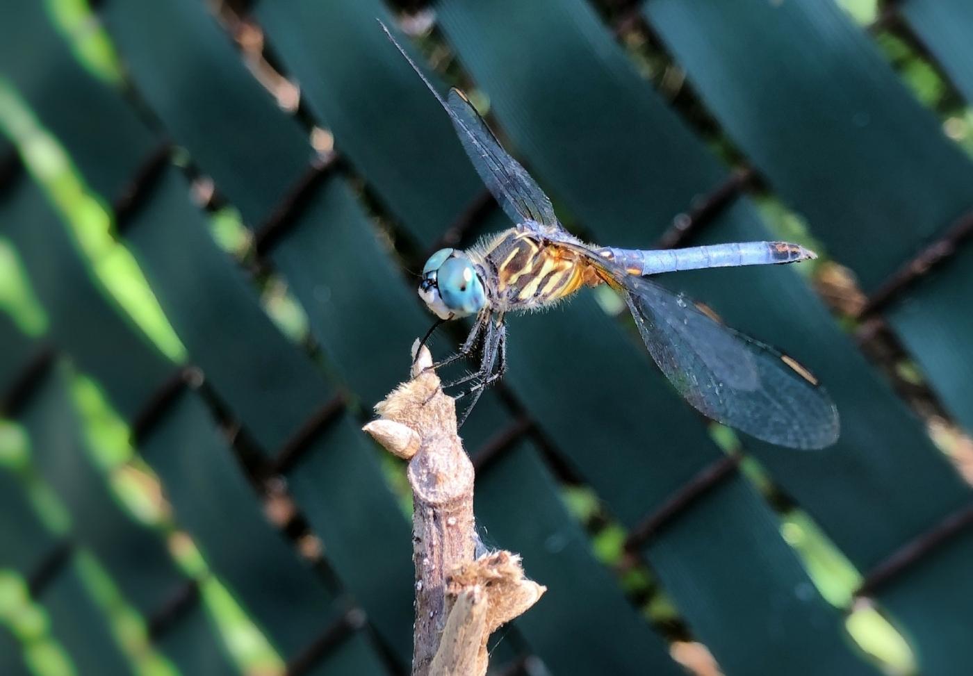 【田螺摄影】院子里的蜻蜓_图1-13