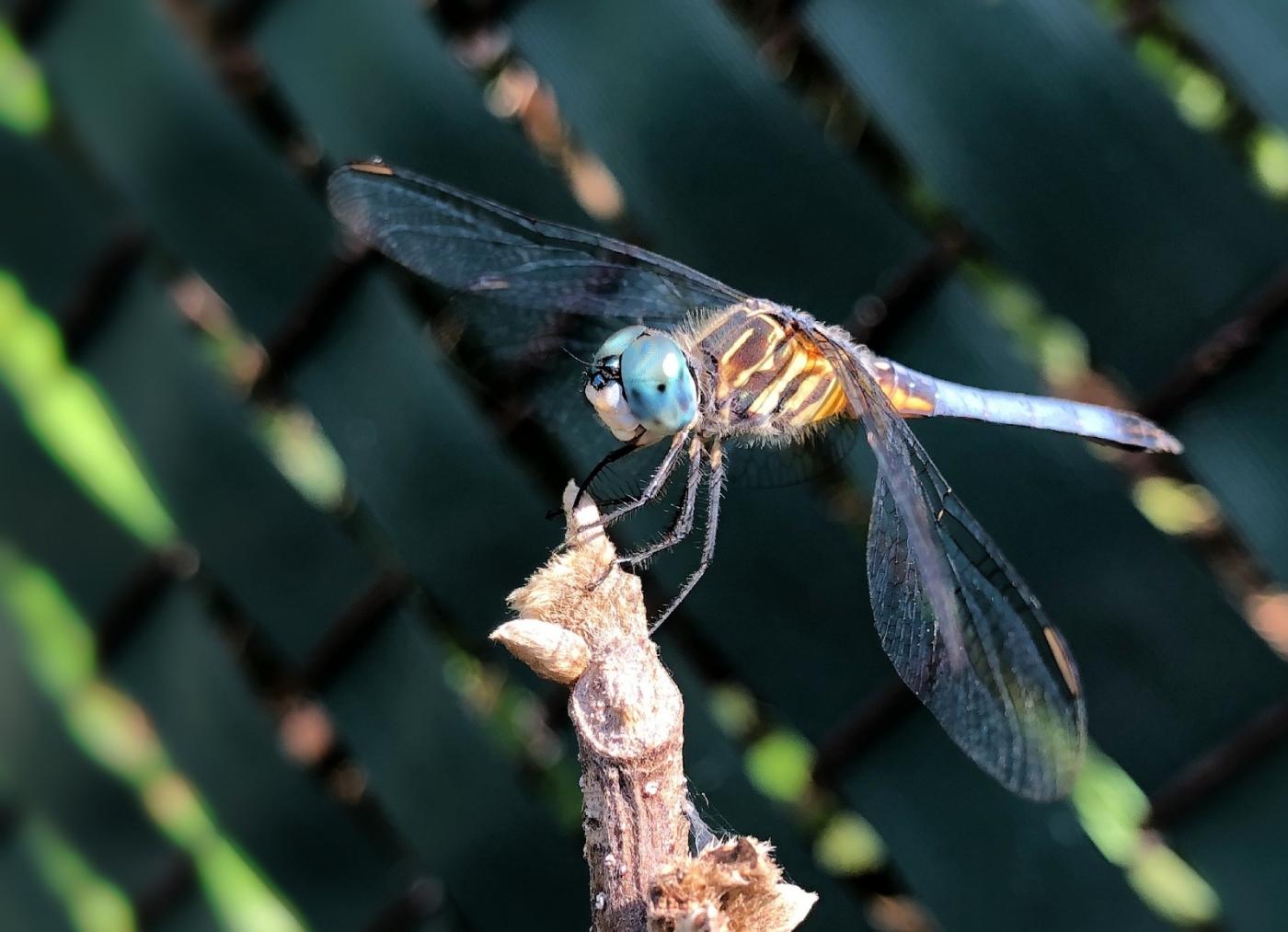 【田螺摄影】院子里的蜻蜓_图1-15