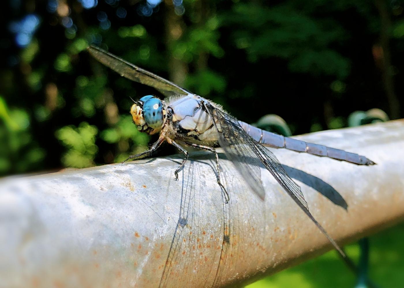 【田螺摄影】院子里的蜻蜓_图1-17
