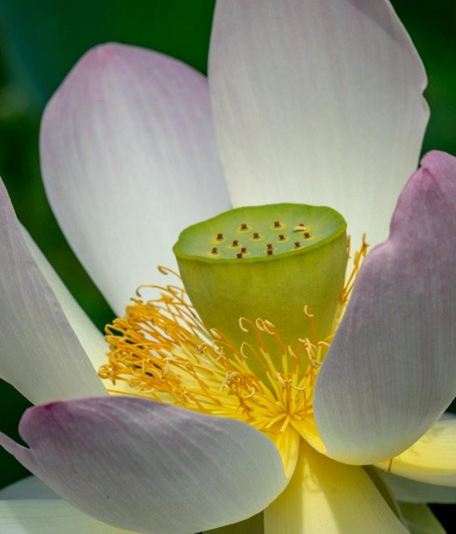 纽约植物园之荷花_图1-2