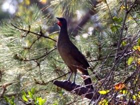 稚冠雉---墨西哥和中美洲的大