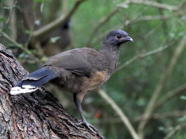 稚冠雉---墨西哥和中美洲的大型鸡鸟_图1-2