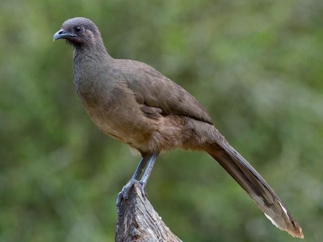 稚冠雉---墨西哥和中美洲的大型鸡鸟_图1-3