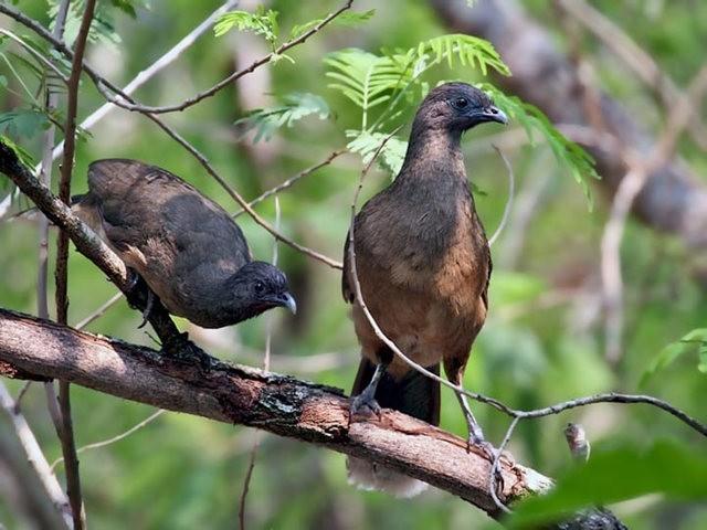 稚冠雉---墨西哥和中美洲的大型鸡鸟_图1-4