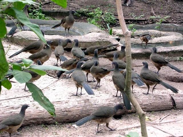稚冠雉---墨西哥和中美洲的大型鸡鸟_图1-5