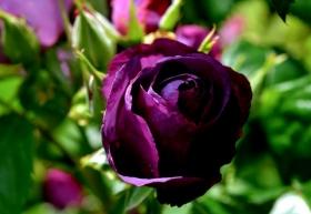 201853 玫瑰