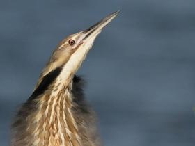 苍鹭--佛罗里达州沼泽地的居客