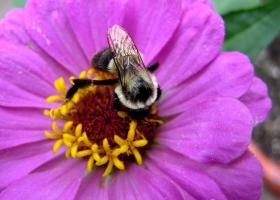 蜜蜂.百日草