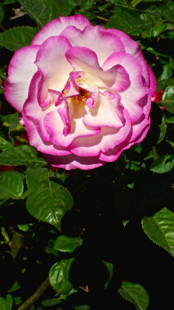 【晓鸣摄影】花卉植物49作展+独创简诗对照谱_图1-13