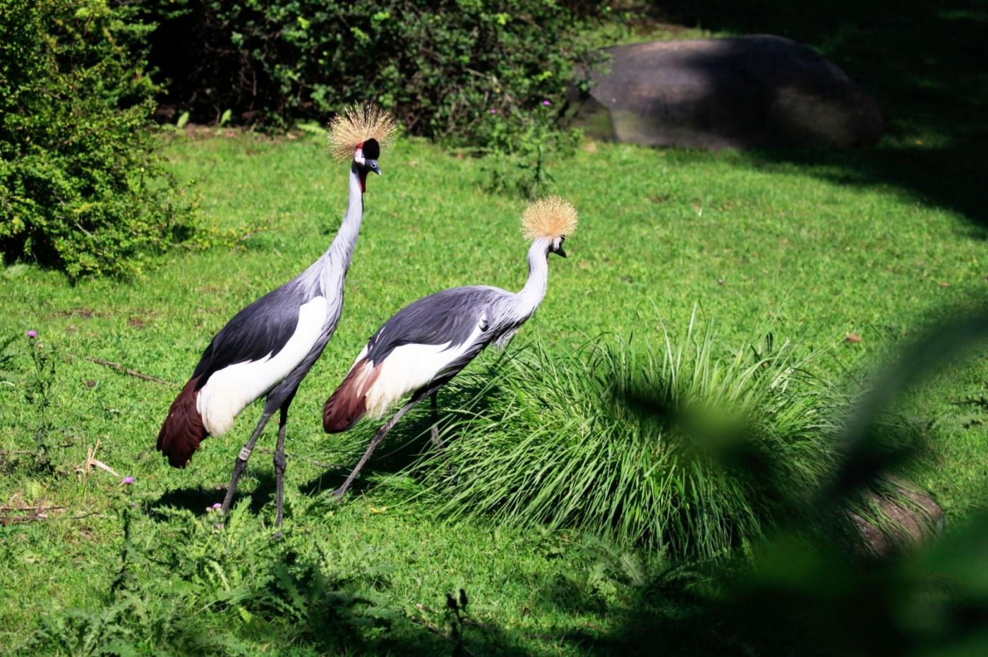 美丽的东非灰冠鹤_图1-3