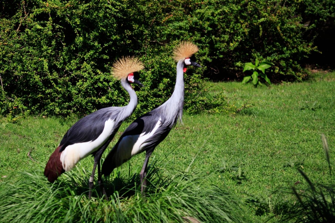 美丽的东非灰冠鹤_图1-1