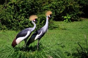 美丽的东非灰冠鹤