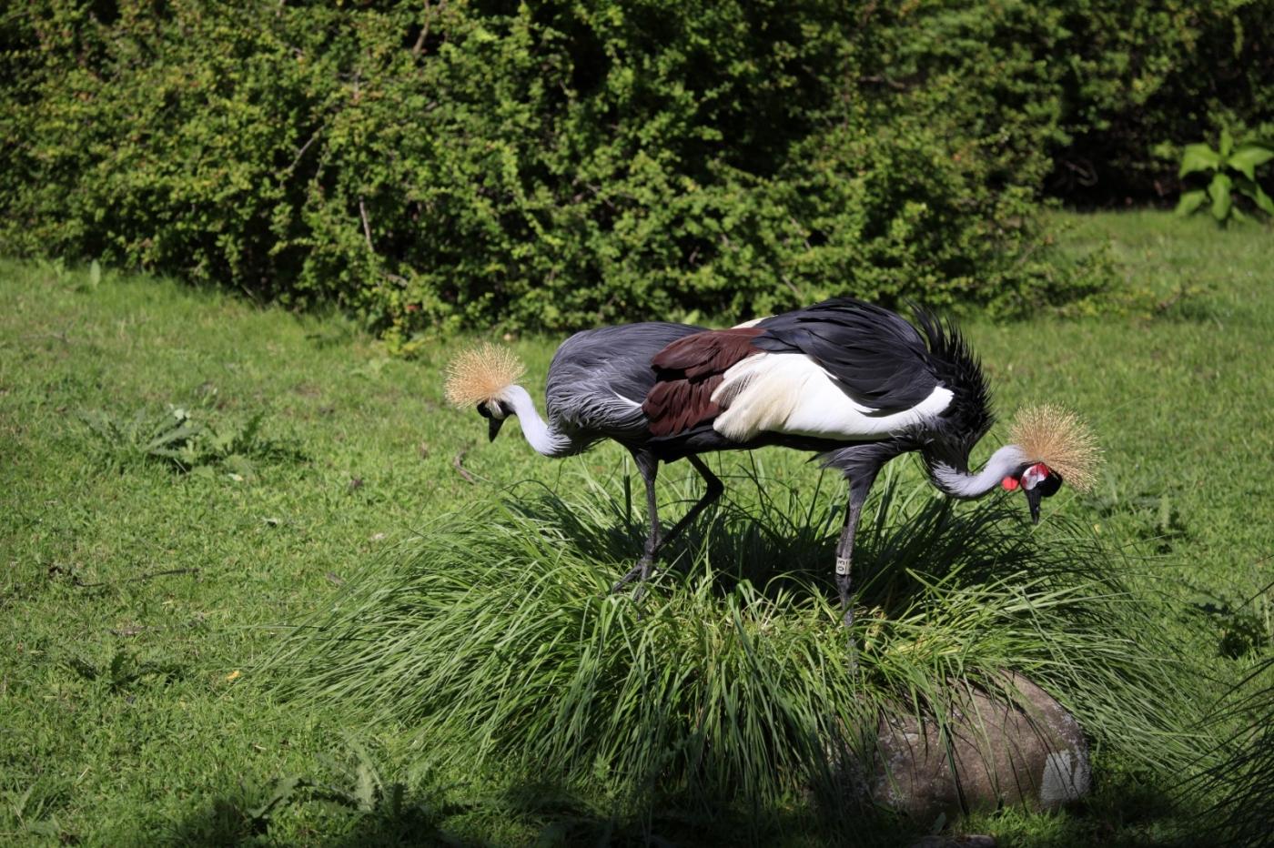 美丽的东非灰冠鹤_图1-8