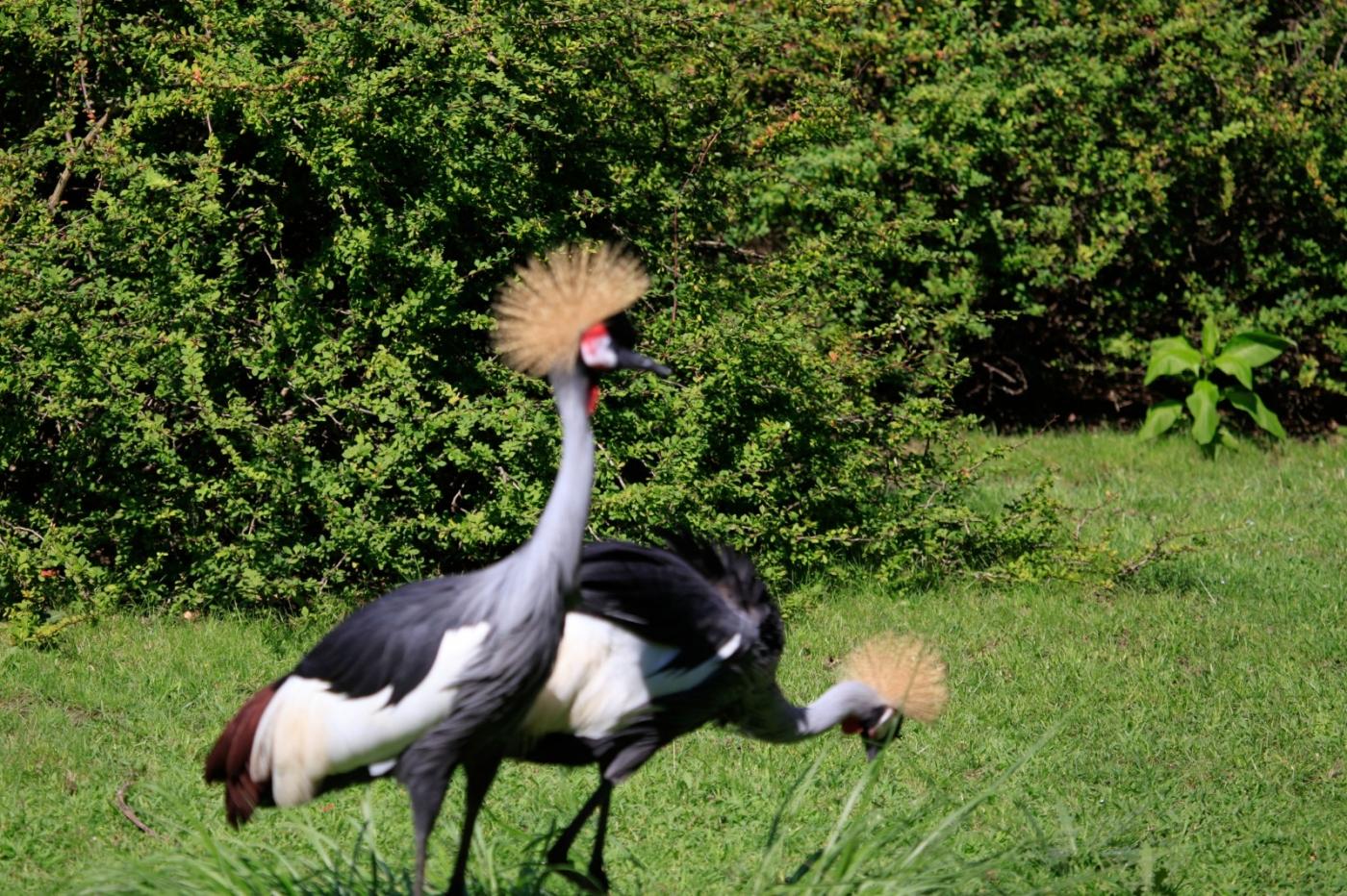 美丽的东非灰冠鹤_图1-16