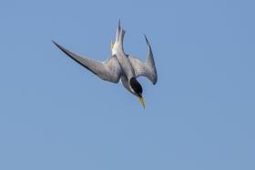 黄嘴燕鸥 Least tern