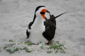 【田螺摄影】剪嘴鸥的出生成长过程