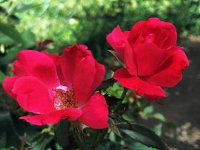 【田螺随拍】今年在红地铺买了四种玫瑰种都