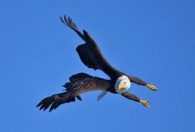 阿拉斯加白头鹰