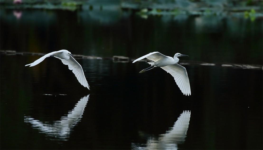 茅家埠的鹭鸟_图1-1