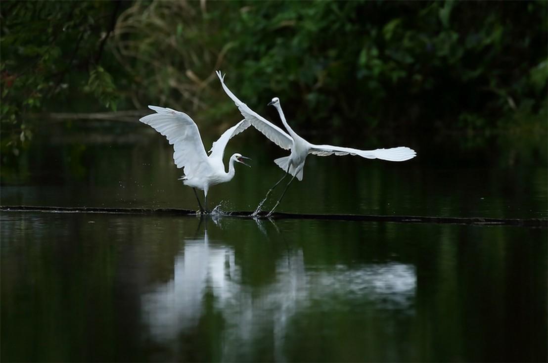 茅家埠的鹭鸟_图1-2