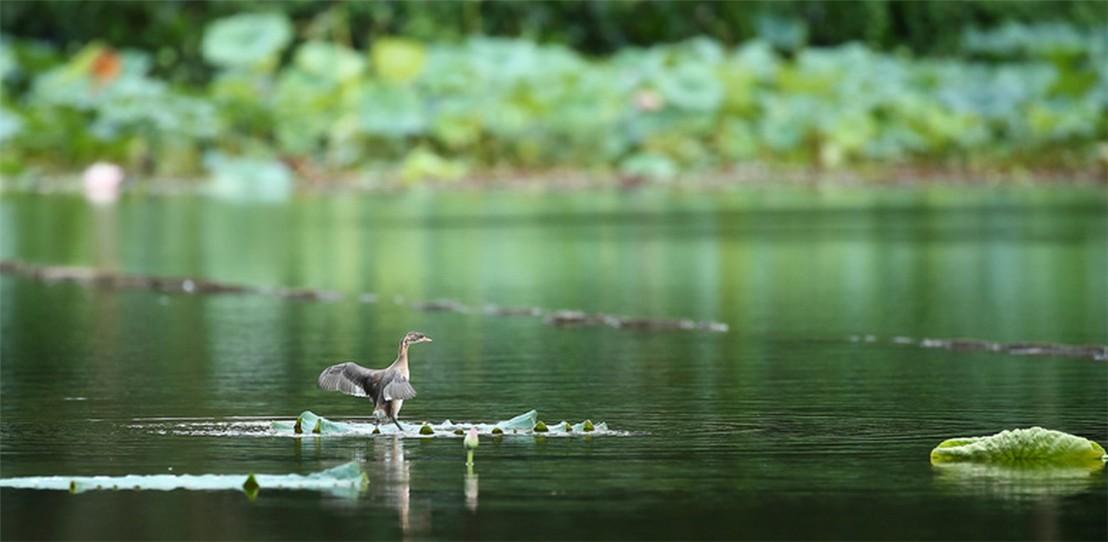 茅家埠的鹭鸟_图1-3