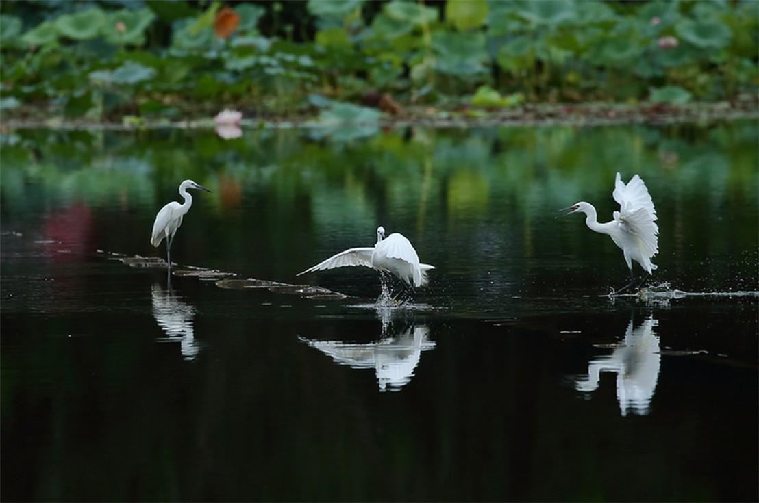 茅家埠的鹭鸟_图1-4