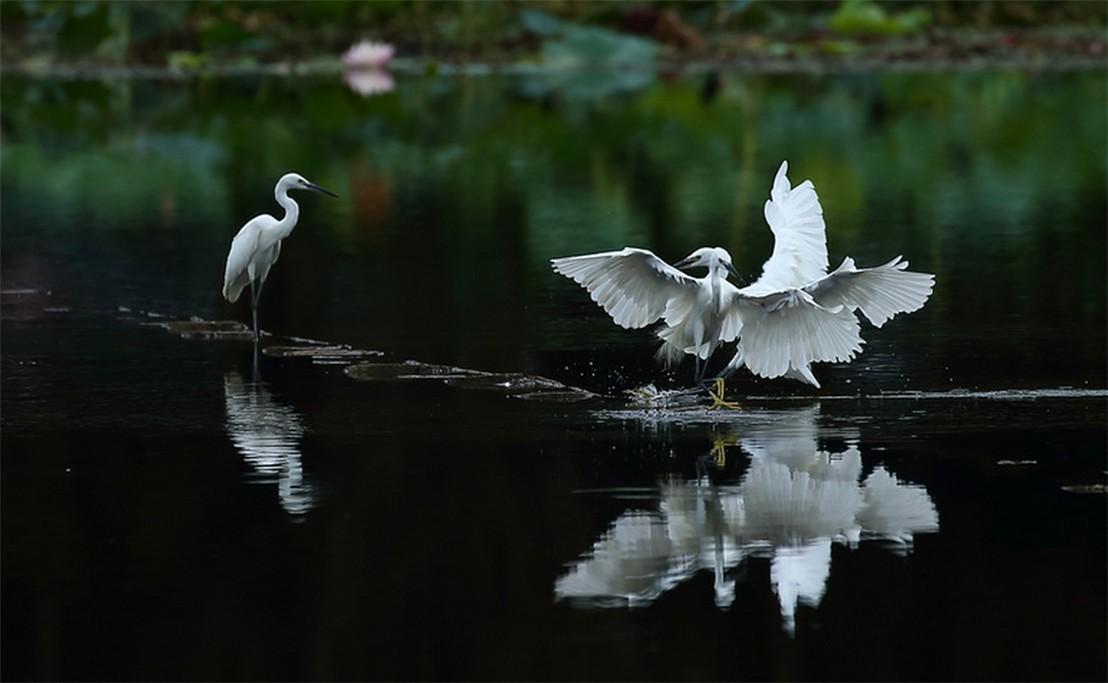 茅家埠的鹭鸟_图1-5