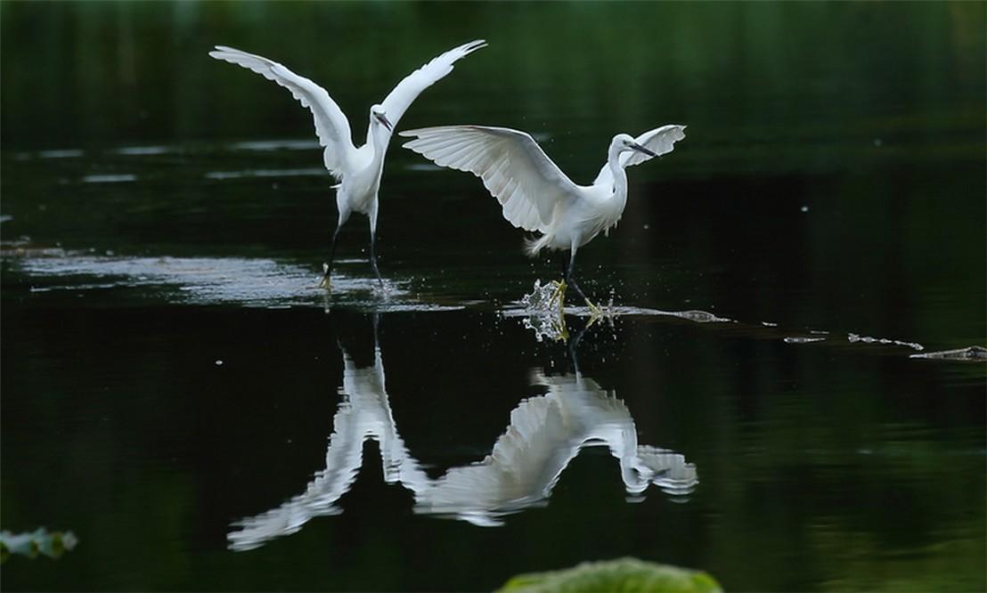茅家埠的鹭鸟_图1-6