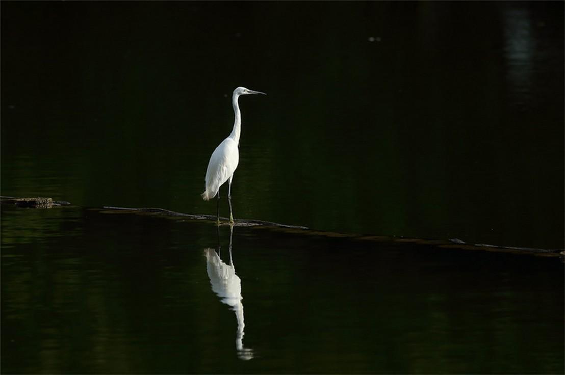 茅家埠的鹭鸟_图1-7