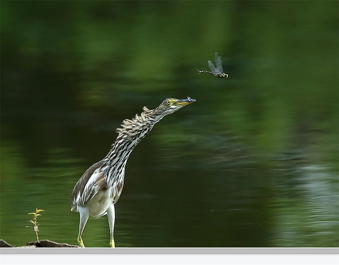 茅家埠的鹭鸟_图1-9