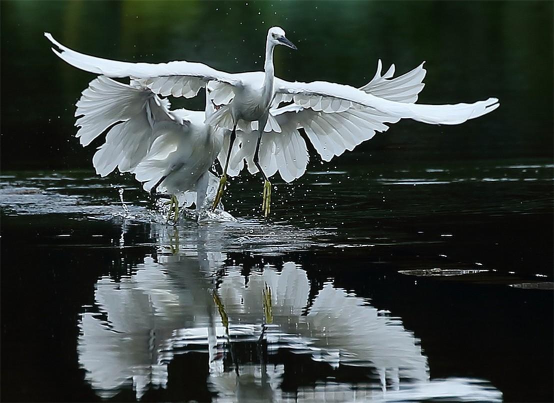 茅家埠的鹭鸟_图1-10