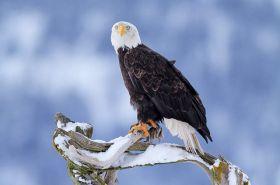 阿拉斯加白头鹰  2