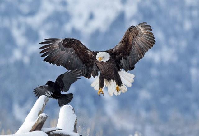 阿拉斯加白头鹰  2_图1-8