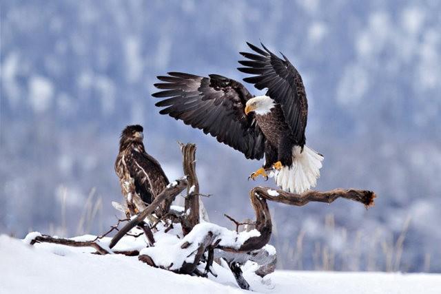 阿拉斯加白头鹰  2_图1-9