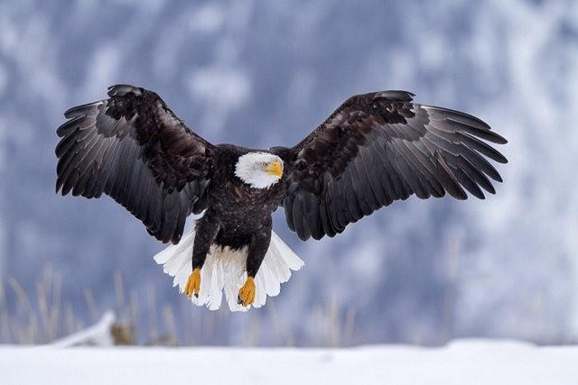 阿拉斯加白头鹰  2_图1-10