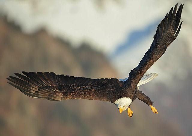 阿拉斯加白头鹰  2_图1-19